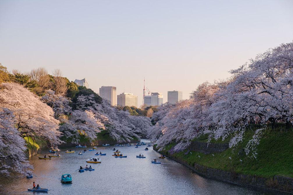 Sakuras en fleurs